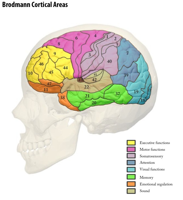 Brodmann Cortical Areas