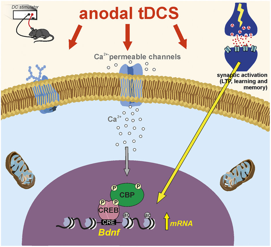 tDCS-Model of anodal tDCS-induced chromatin remodeling